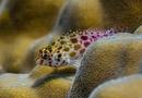 Busig hökfisk (Cirrhitichthys oxycephalus)