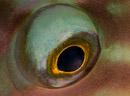 Papegojfisköga