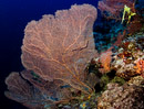 Giant sea fan coral at 40m