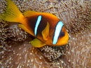 Red Sea anomonefish (Amphiprion bicinctus)