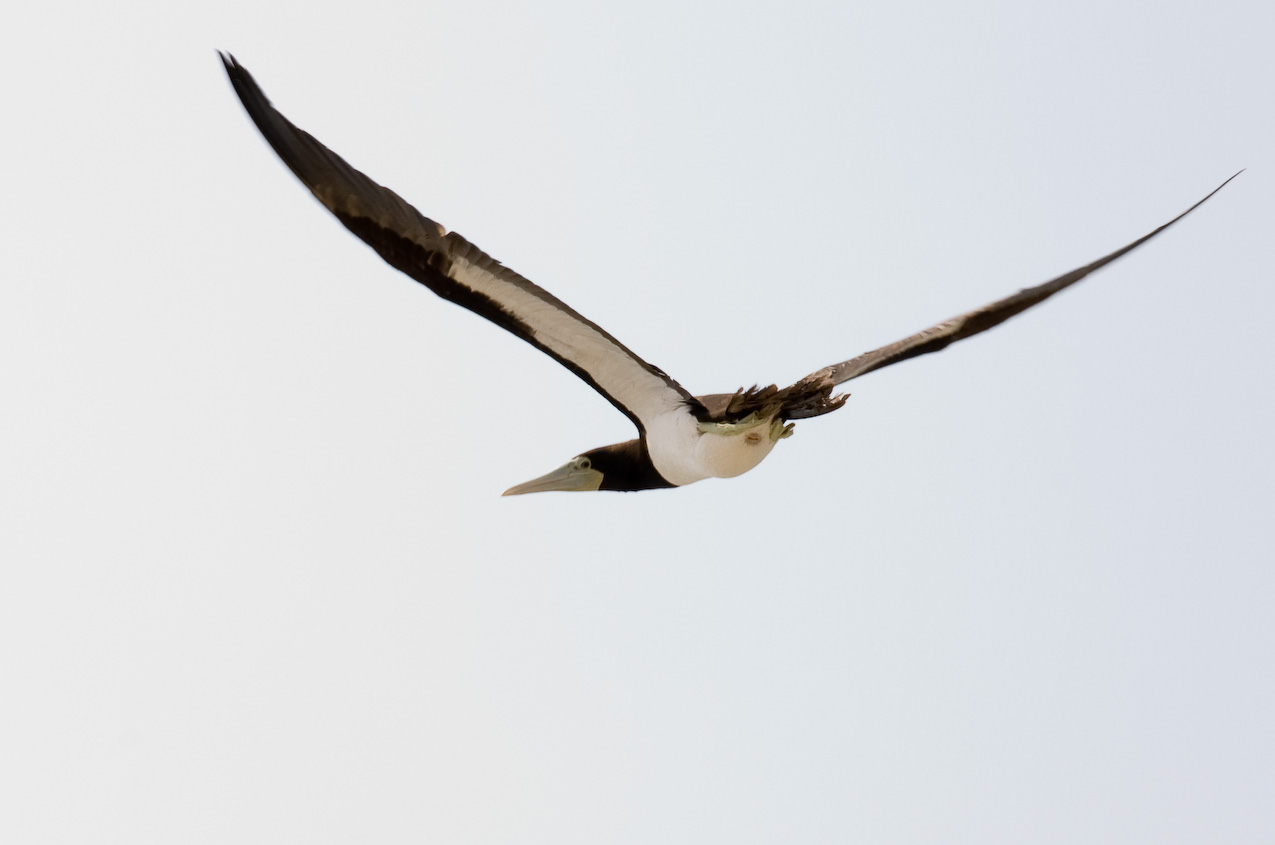 Brown booby (Sula leucogaster), a southern species