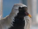 Långstjärtsduva (Oena capensis)