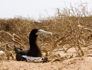 breeding Brown booby that I photographed after Christian had left
