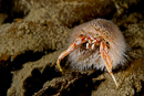 Common hermit crab (Pagurus bernhardus) overgrown with Snail fur (Hydractinia echinata)