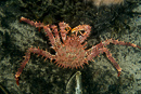 Norway king crab (Lithodes maja)