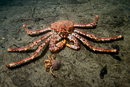 Norway king crab (Lithodes maja) with Common hermit crab (Pagurus bernhardus)