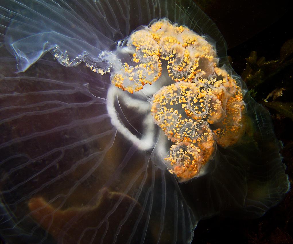 Common jellyfish (Aurelia aurita)