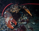 Common lobster, big size (Homarus gammarus)