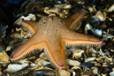 Sand star (Astropecten irregularis)