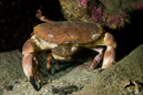 Edible crab x 2 again (Cancer pagurus)