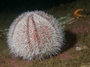 Edible sea urchin (Echinus esculentus)