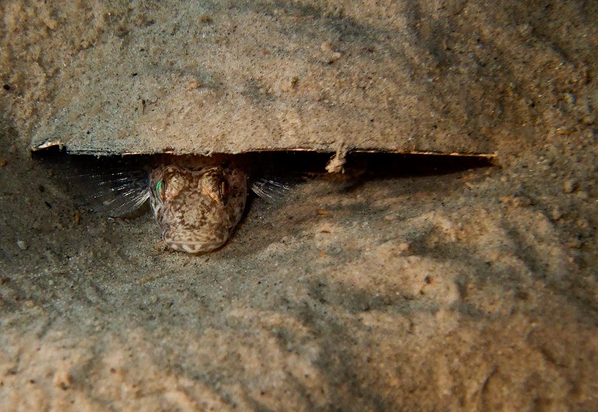 Common goby (Pomatoschistus microps)