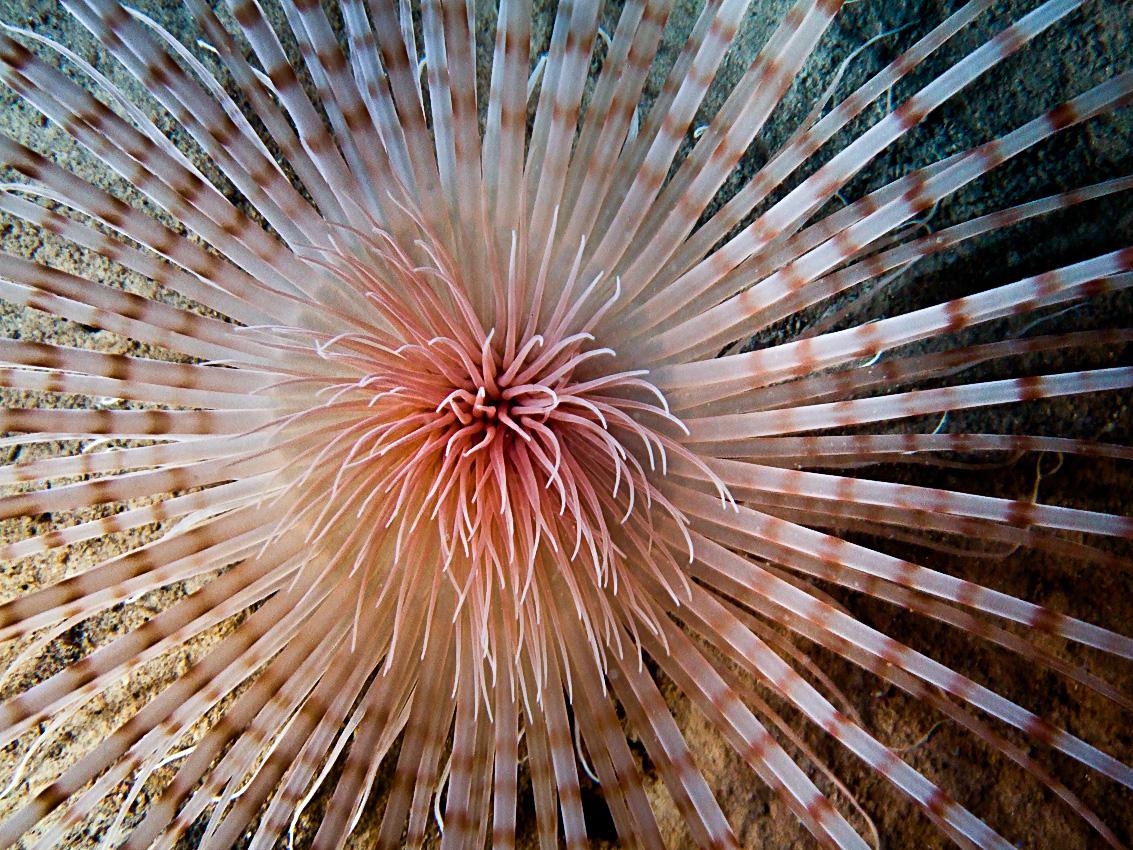 Fireworks anemone (Pachycerianthus multiplicatus)