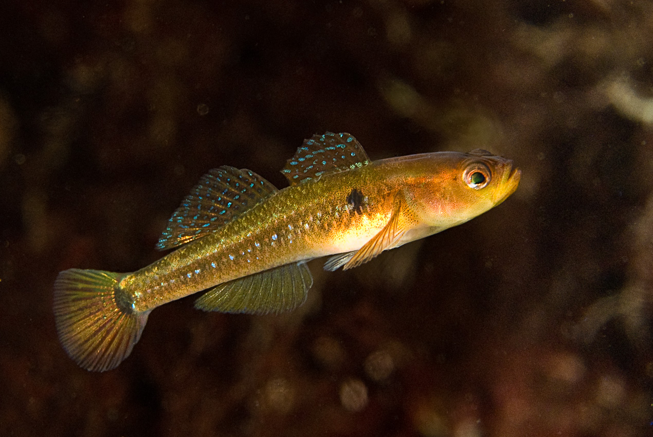 Two-spot goby (Gobiusculus flavescens)