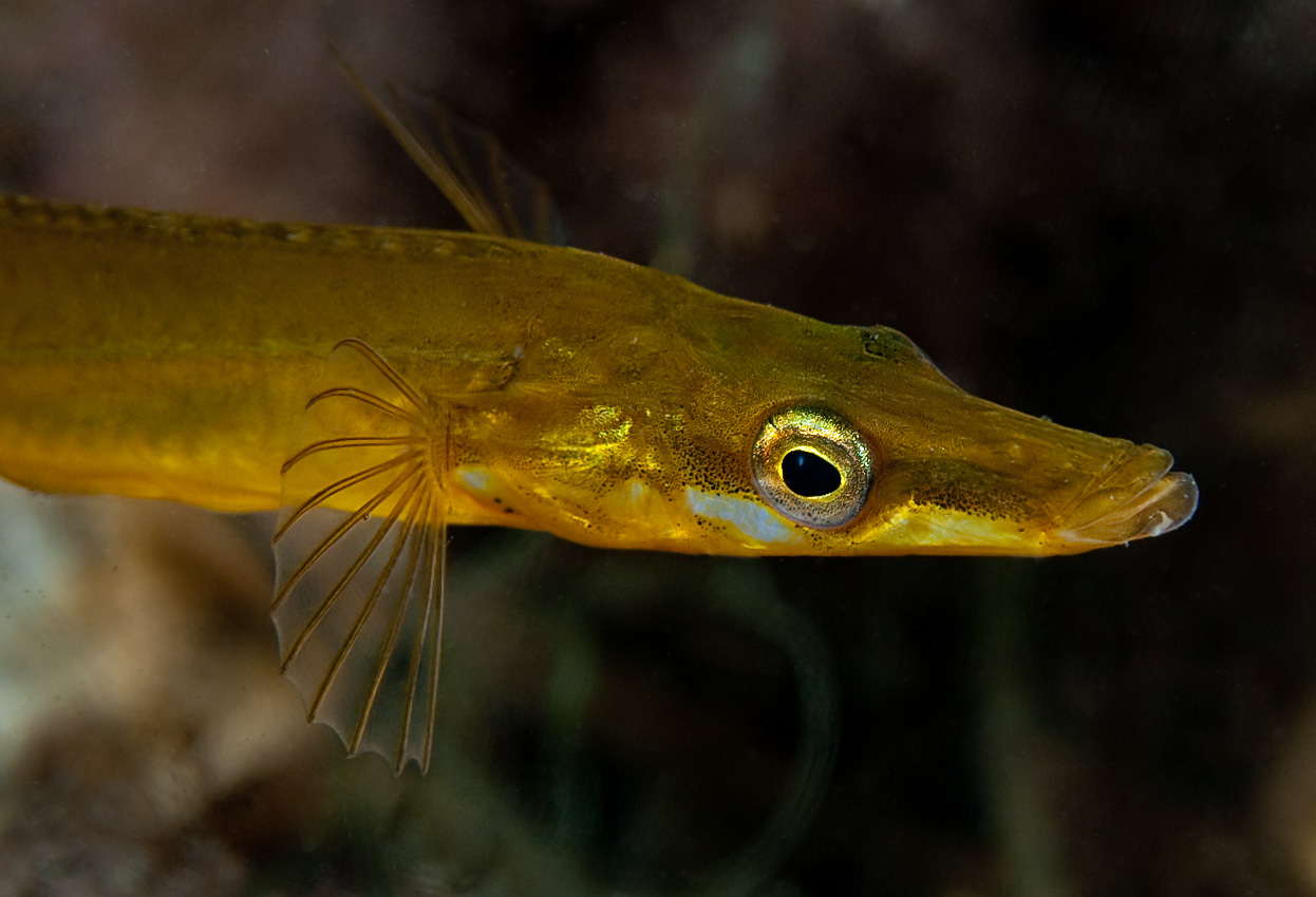 Sea stickleback (Spinachia spinachia)