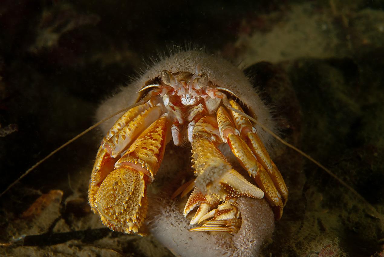 Common hermit crab (Pagurus bernhardus)