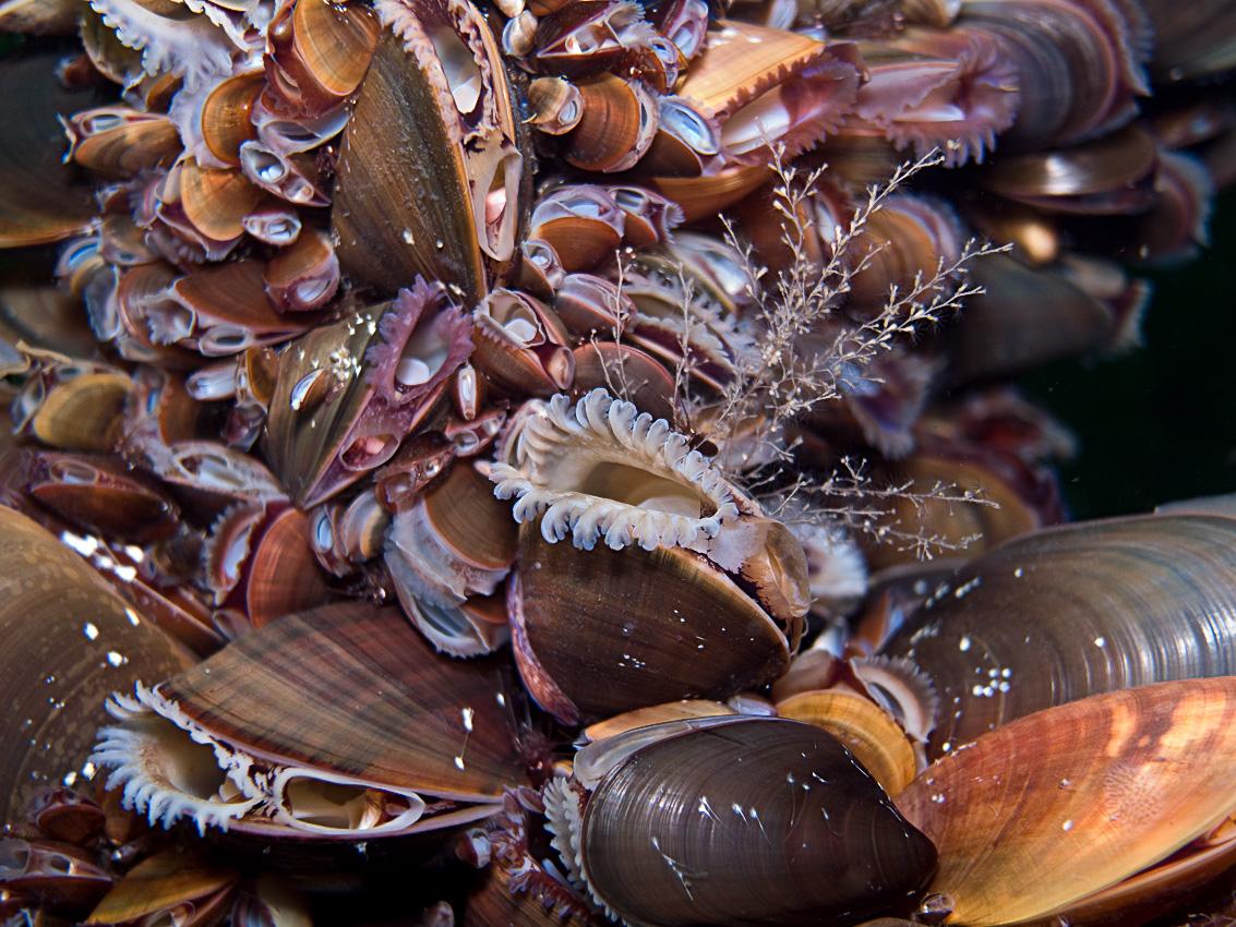 Common mussle (Mytilus edulis)