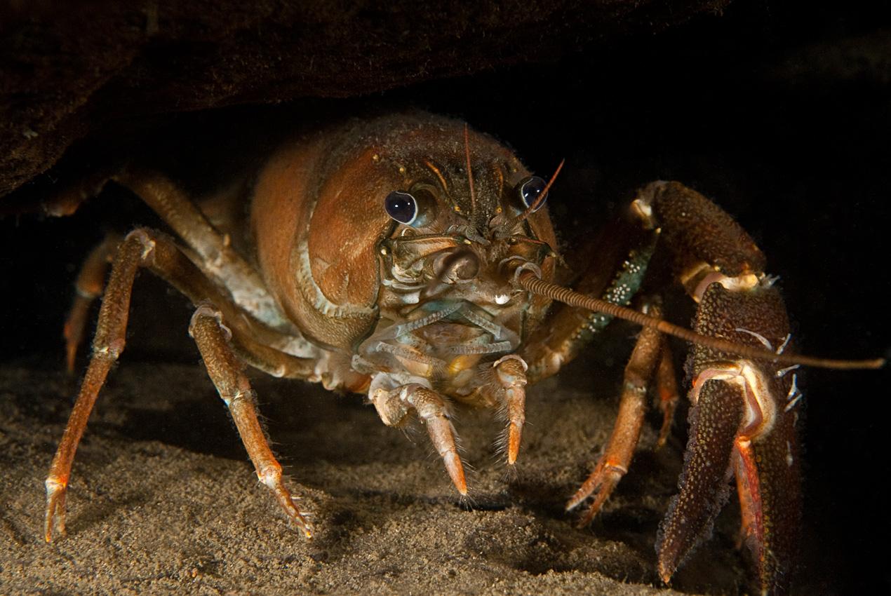 Signal crayfish (Pacifastacus leniusculus)