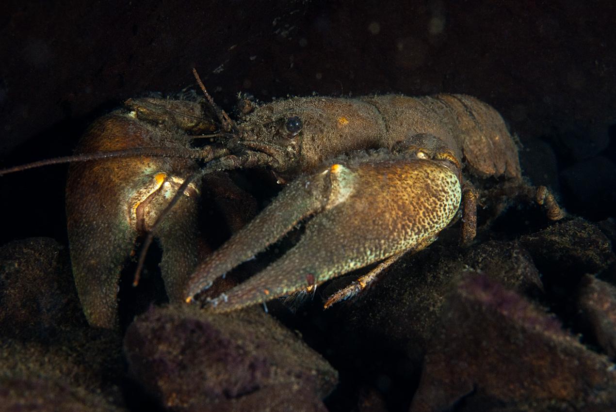 Signal crayfish (Pacifastacus leniusculus), old