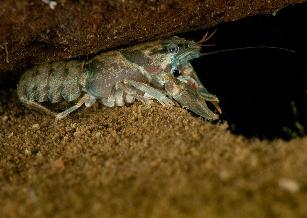 Signal crayfish (Pacifastacus leniusculus), young