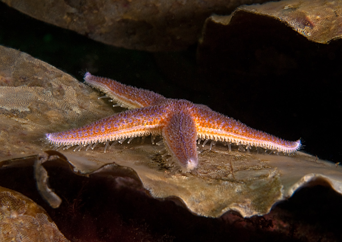 Sea star on tare