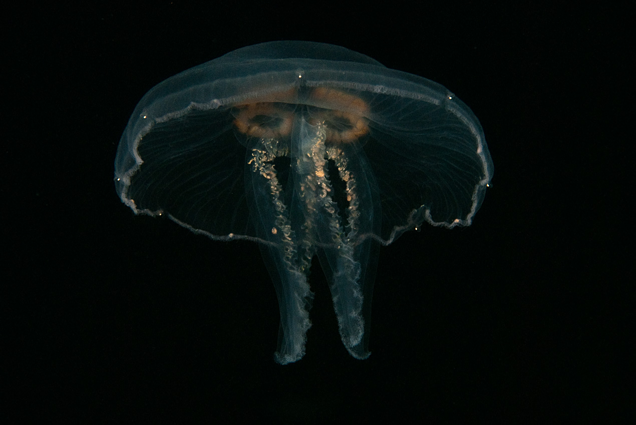 Common jellyfish (Aurelia aurita)