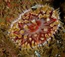 Dahlia anemone (Urticina felina)