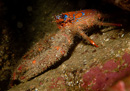 The squat lobster Galathea strigosa