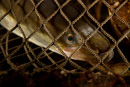 Eel in a trap (Anguilla anguilla)