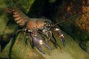 Signalkräfta (Pacifastacus leniusculus)