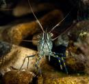 Rockpool prawn (Palaemon elegans)