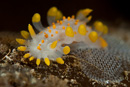 The nudibranch (Limacia clavigera)