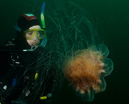 Steina with Lion's mane jellyfish (Cyanea capillata)