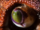 Eye of Edible crab (Cancer pagurus)