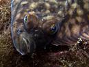European flounder (Platichthys flesus)