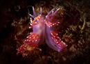 Violet sea slug (Flabellina pedata)