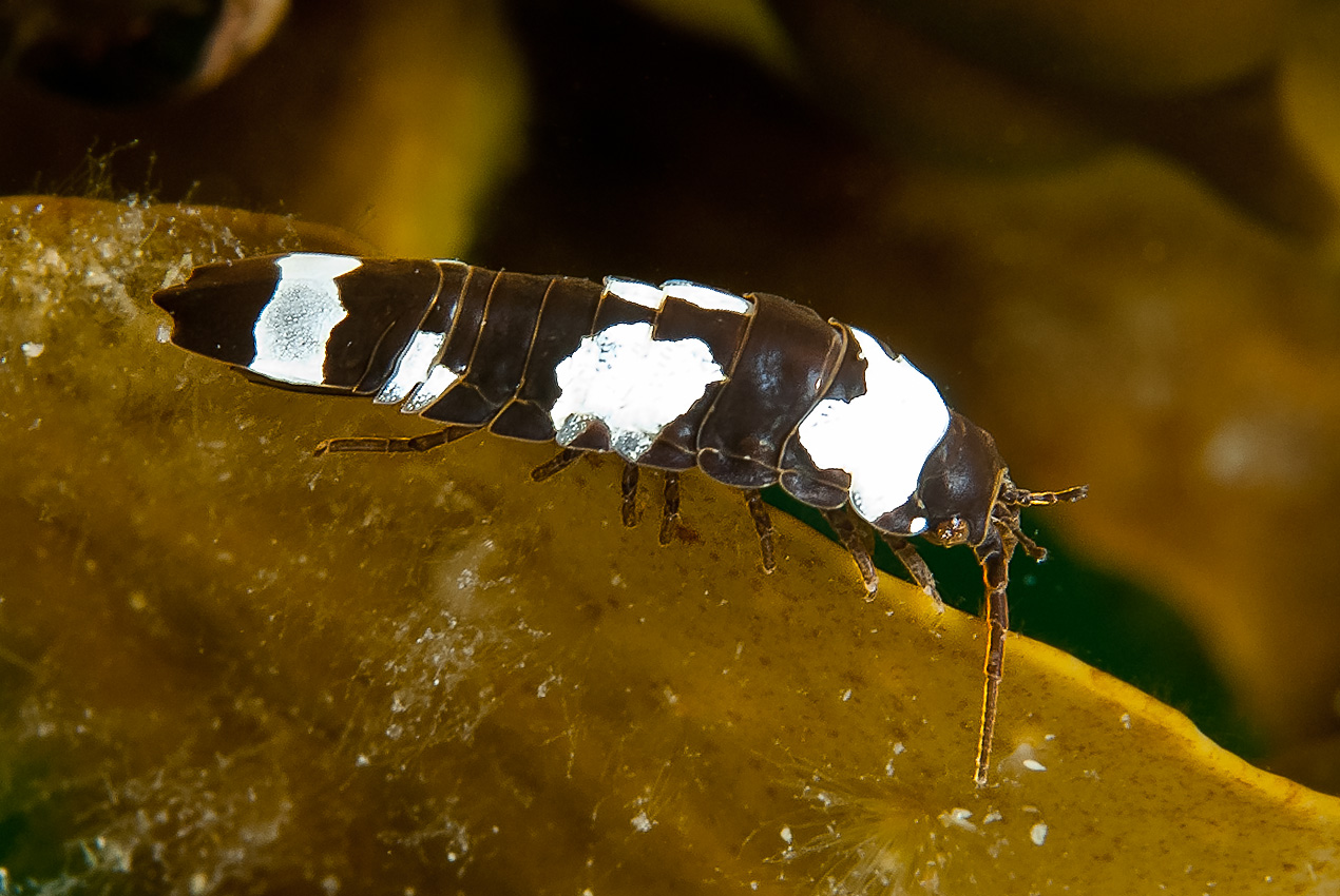A water-living relative to woodlice (Idotea granulosa)
