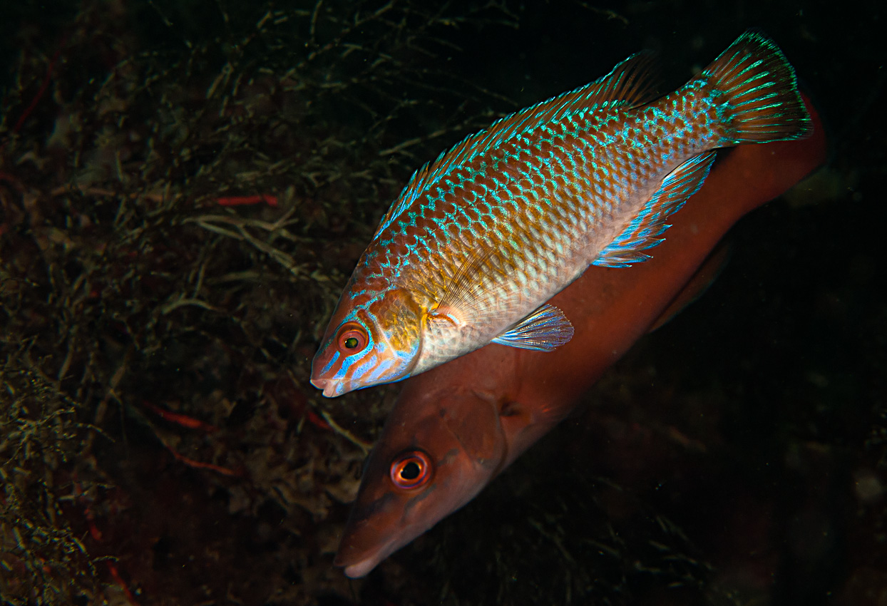 Small-mouthed wrasse (Centrolabrus exoletus) in front of Cuckoo wrasse
