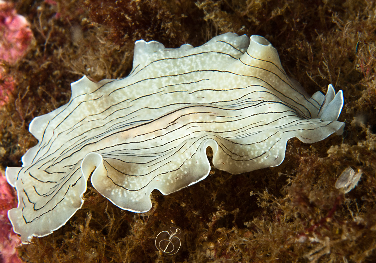 Candy Striped Flatworm (Prostheceraeus vittatus)