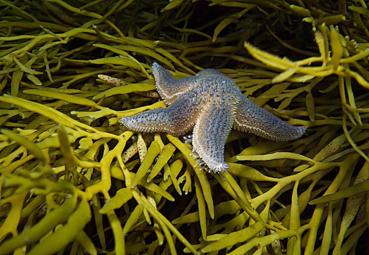 Northern Starfish (Leptasterias muelleri)