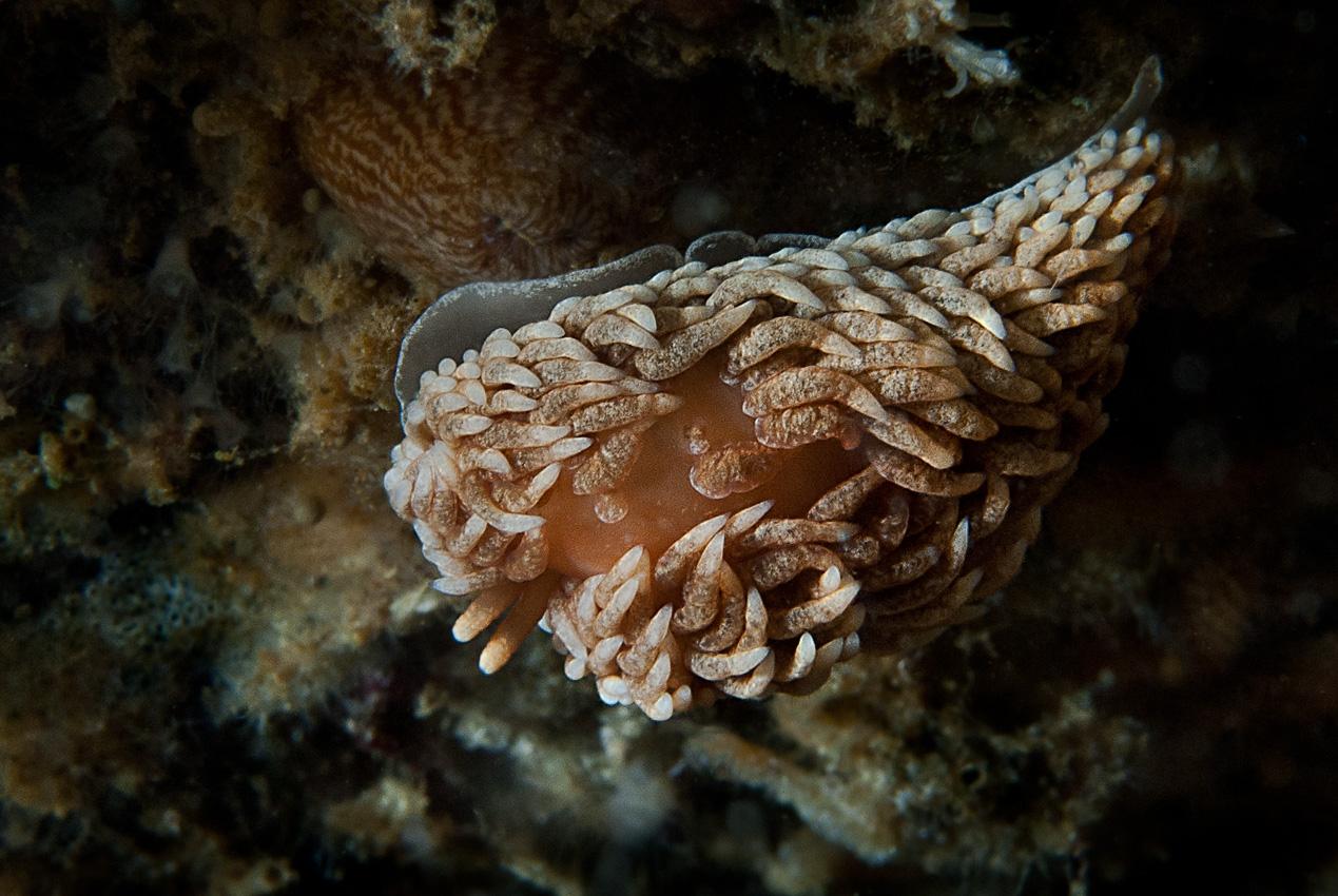 Grey sea slug (Aeolidia papillosa)