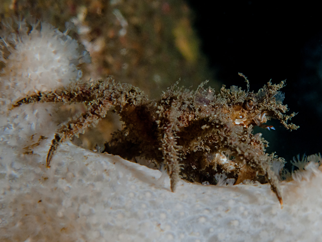 Spider crab (Hyas sp) on Dead man's fingers
