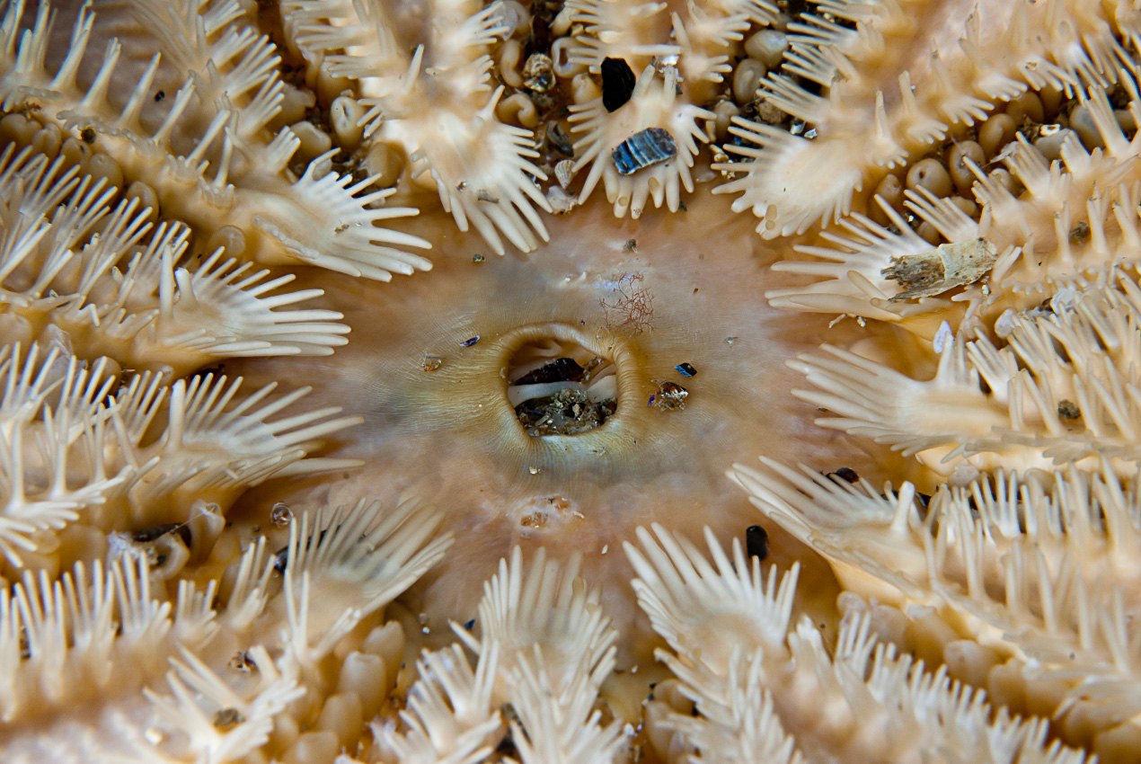 The mouth of a Common sun star  (Crossaster papposus)