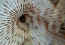 Påfågelmask (Sabella pavonina)