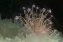 Flower head polyp (Ectopleura larynx)