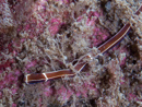 a ribbon worm (Tubulanus sp)