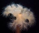 Frilled anemone (Metridium senile)
