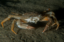 Sandy swimming crab (Liocarcinus depurator)
