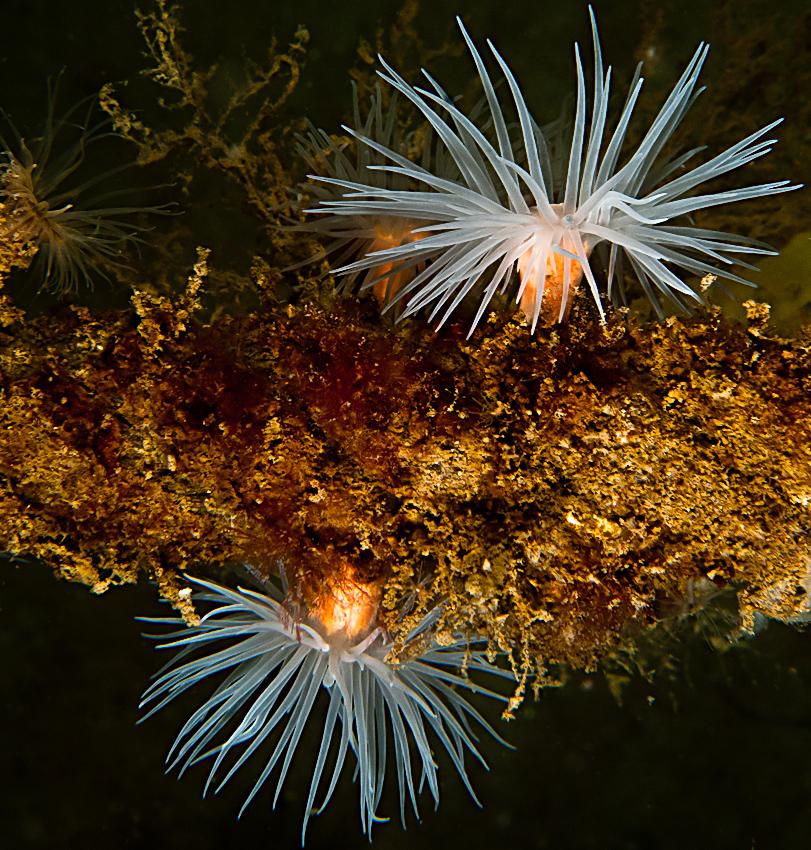Sealoch anemone (Protanthea simplex)