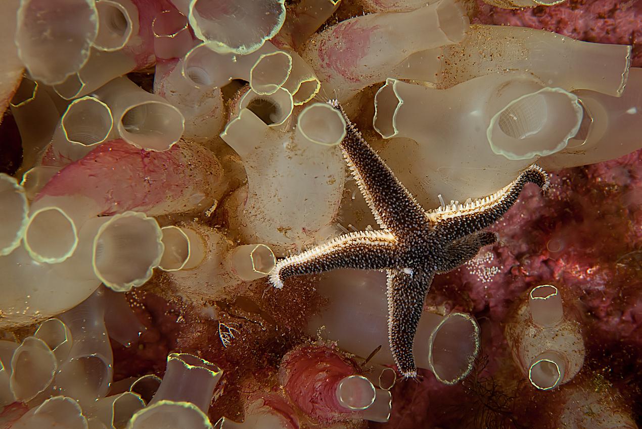 Yellow sea-squirt (Ciona intestinalis)